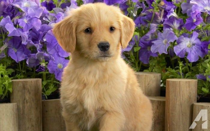 Periodo sensibile del cucciolo: la mia scelta di consegnare cuccioli solo da 70 giorni