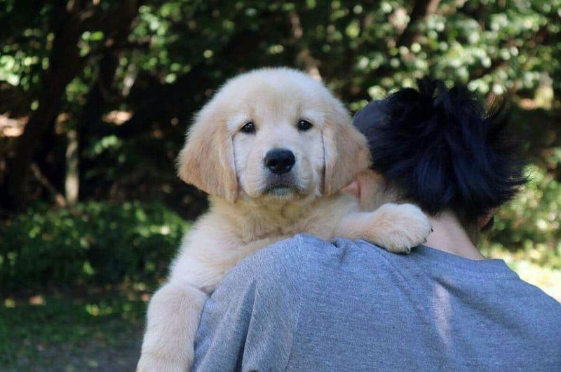 Quanto costa un cucciolo di Golden Americano?