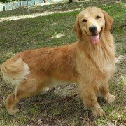 Allevamento Golden Retriever Americano - Waterworld Son's