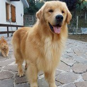 Perché scegliere un Golden Retriever Americano Waterworld Son's