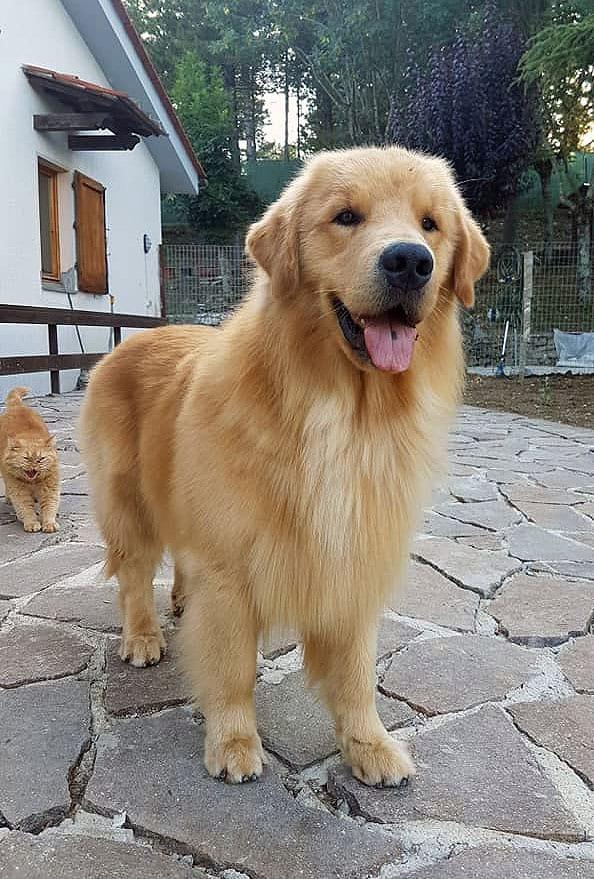 Cuccioli Golden Retriever Americano