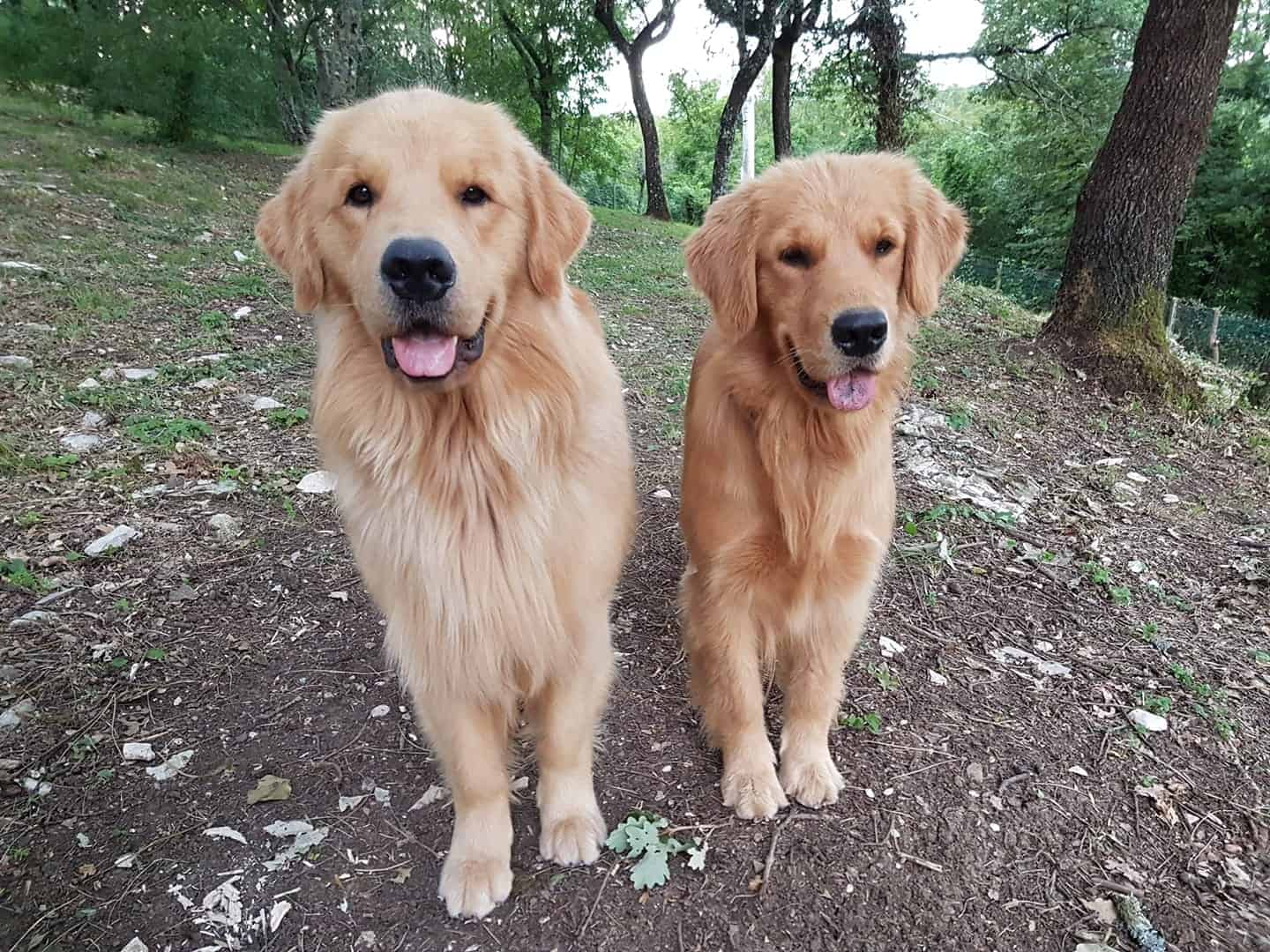 Golden Retriever Americano E Golden Inglese Differenze