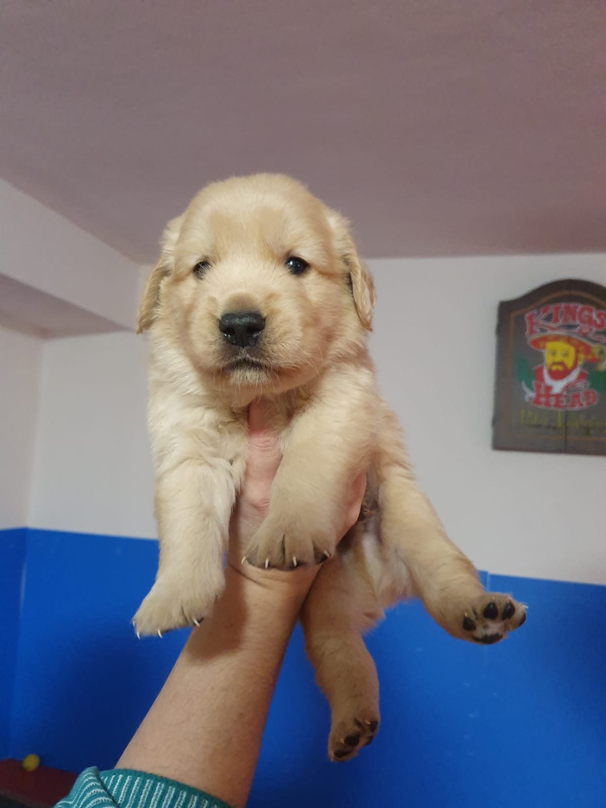 Cucciolo Golden Retriever Americano